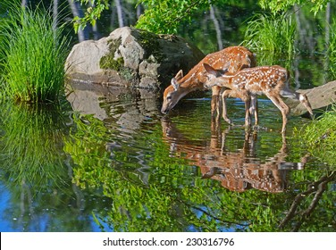 Water reflections of two baby deer.