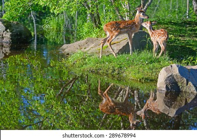 Water reflections of two young White-tailed Fawns.
