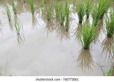 water in rice paddy field