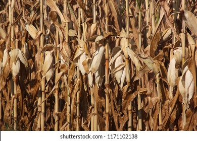 water scarcity in the maize plantation