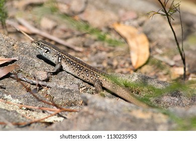 Water skink in Blue Mountains in Australia