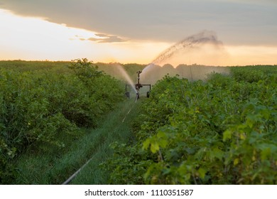 Water sprinkler system working on a field of blackcurrant