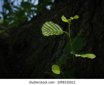 Water sprout on the background of dark alder tree trunk, growing on river bank.