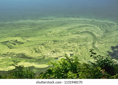water surface of the pond contaminated with cyanobacteria