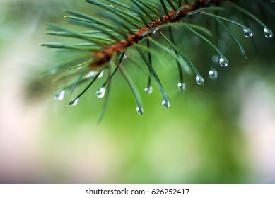 Water tears on the pine needles glint in the sun It is morning.