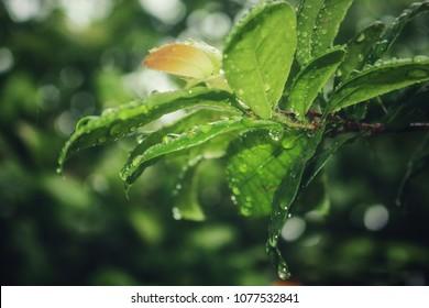 Water of tree , Rainy day