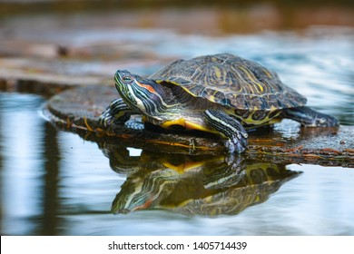 Water turtle gets sun bath in a pond