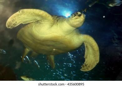 water turtle swimming
