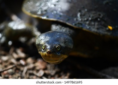Water turtle with yellow eyes