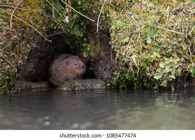 Water Vole (Arvicola amphibius) in a burrow in the side of a canal bank