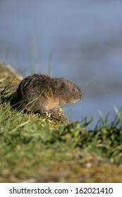 Water vole,  Arvicola terrestris, on bank, Debyshire,