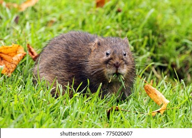 Water Vole (Arvicola terrestris) on riverbank eating grass.