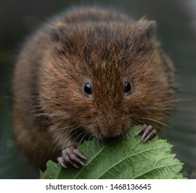 water vole by the river