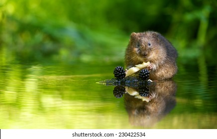 Water vole having his lunch
