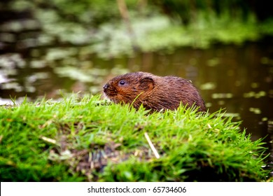 A water vole on a bank