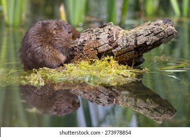 Water Vole in water on mossy grass with refection looking for food looking at camera