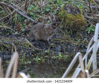 Water Vole on the river bank