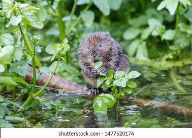 Water Vole on a small log eating lush green leaves. Surrounded by lush green water plants.