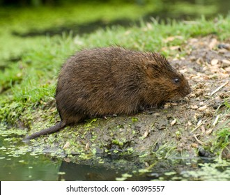 Water Vole photographed in captivity