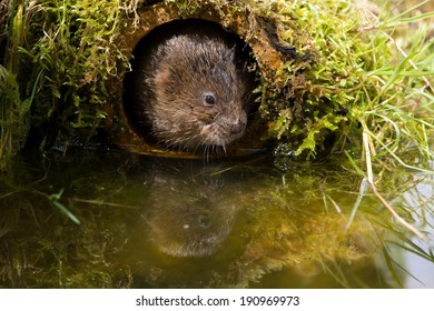 Water Vole in pipe at waters edge/Water Vole/Water Vole