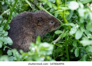 Water Vole profile, small river rodent