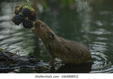 water vole reaching some blackberries