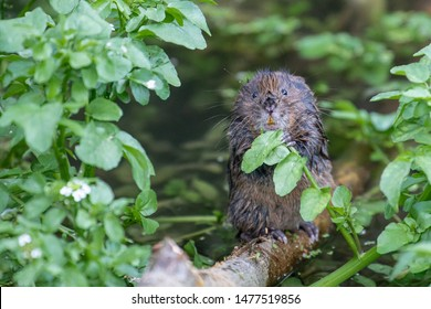 Water Vole sitting upright holding green leaves