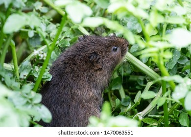 Water Vole surrounded by green water plants