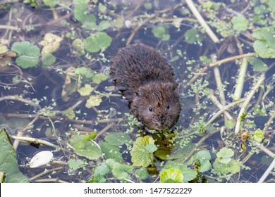 Water Vole swimming in the river through water plants