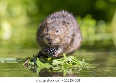 Water Vole in the UK