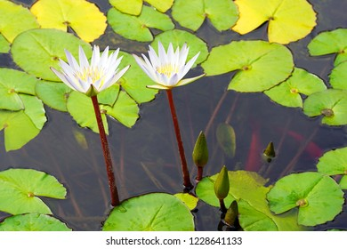 Water white lilies bloom in the lake. Water Lily Flower with green leaves in the water. close-up