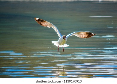 A waterbird flying over the lake with its wings wide open