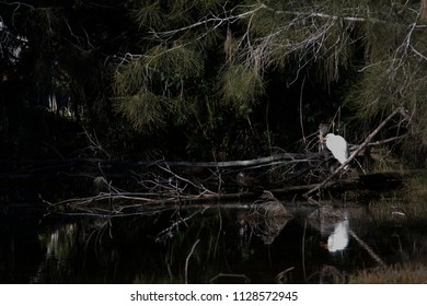 Waterbird on a waterway near Tuggerah Lake, Central Coast, New South Wales