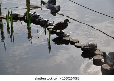 waterbirds in the pond