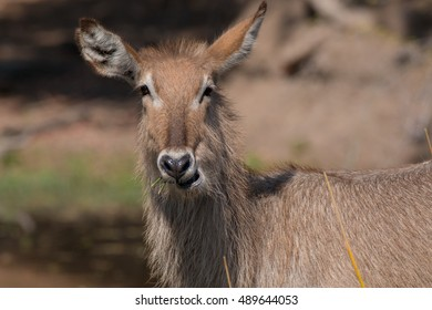 waterbuck antelope African Kruger national park south africa