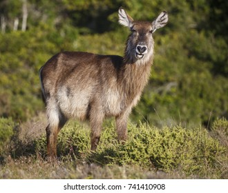 A Waterbuck antelope with a funny expression as it eats grass