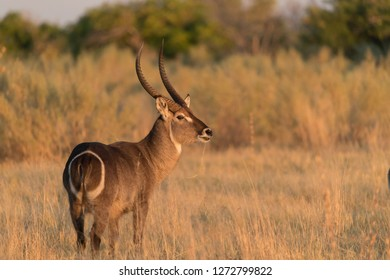 Waterbuck in Botswana Africa
