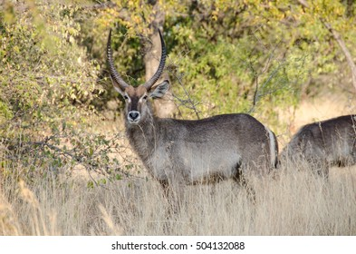 Waterbuck bull in South Africa