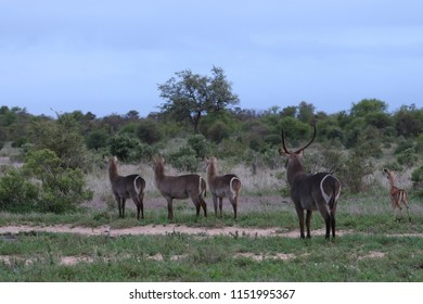 Waterbuck group with large horns and white ring on bum on the lookout for danger, Kruger National Park, South Africa