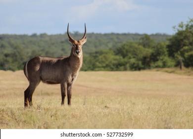 Waterbuck (Kobus Ellipsiprymnus)   in Kruger national park