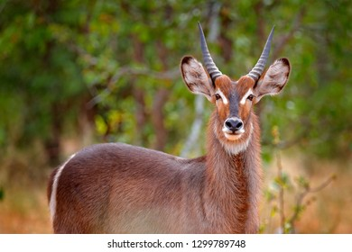 Waterbuck, Kobus ellipsiprymnus, large antelope in sub-Saharan Africa, detail face portrait. Nice African animal in the nature habitat, Kruger NP, South Africa. Wildlife scene from nature.