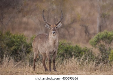 The waterbuck (Kobus ellipsiprymnus) ~ South Africa