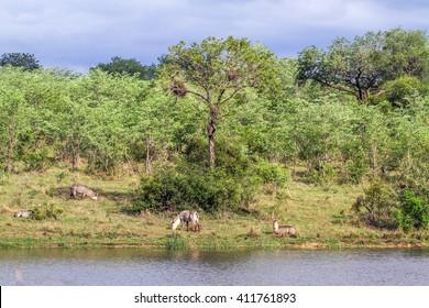 Waterbuck in Kruger national park, South Africa ; Specie Kobus ellipsiprymnus family of bovidae