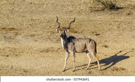 Waterbuck in Kruger national park, South Africa ; Specie Tragelaphus strepsiceros family of Bovidae