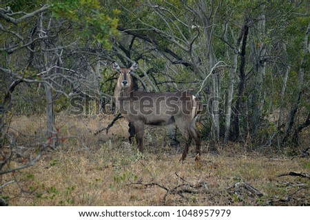 Waterbuck at Kruger National Park in South Africa