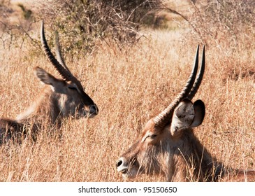 Waterbuck resting in the afternoon sun. Kruger National Park, South Africa.