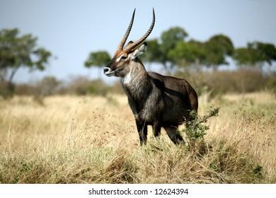 Waterbuck standing on a grass hill (Masai Mara; Kenya)
