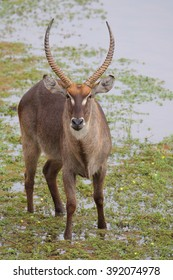 Waterbuck standing in quiet river, Kruger National Park, South Africa