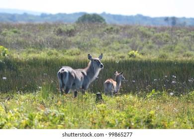 Waterbuck in wetland grass