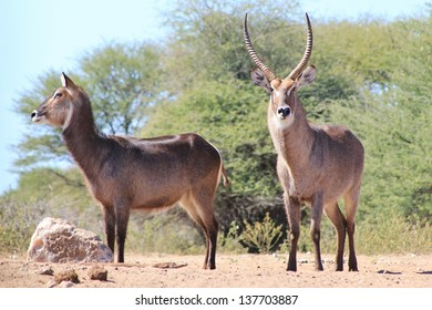 Waterbuck - Wildlife from Africa - A bull and cow pose for a picture whilst enjoying salt rock on a game ranch in Namibia.